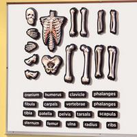 Image 3-D Skeleton Demonstration Magnets